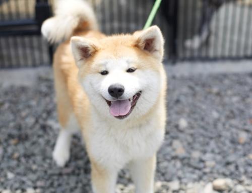 Amazing Akita 3-day experience!