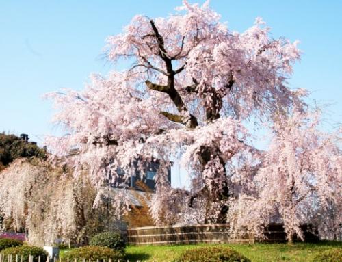 Southern Hokkaido Cherry Blossoms | 7 Days Self Drive