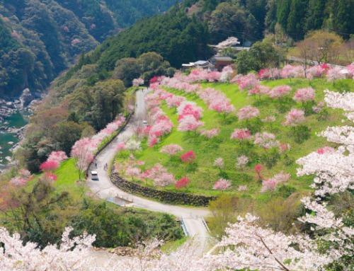 Hana-Momo Flowers in Kochi