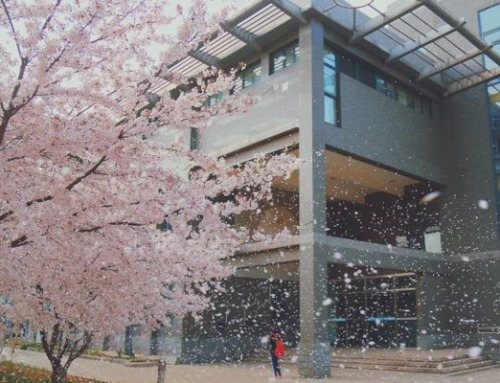 Japan has more than 70 words for Cherry Blossoms